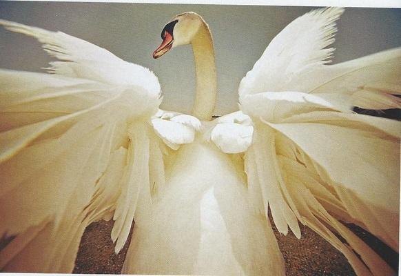 Carousel swan