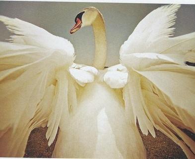 Medium swan