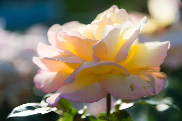 Carousel rose spa