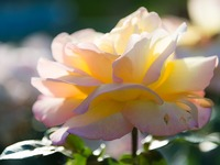 Small_rose_spa