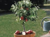 Small_dwarf_apple