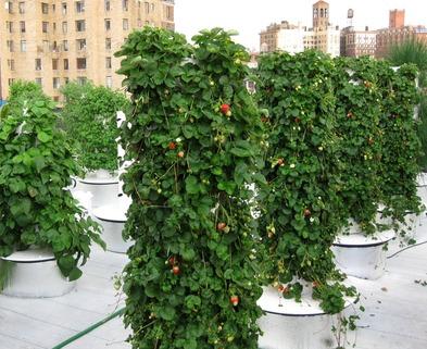 Medium zz4 summer 2013 fresh strawberries used to garnish deserts and chef john mooneys summer garden salad