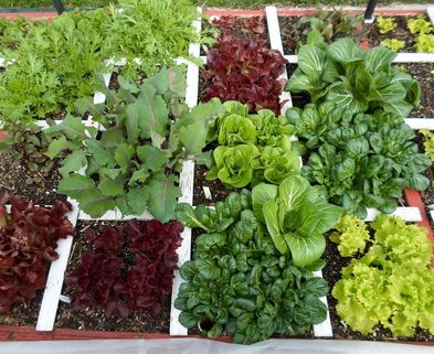 The Wealthy Earth A square foot gardening blog