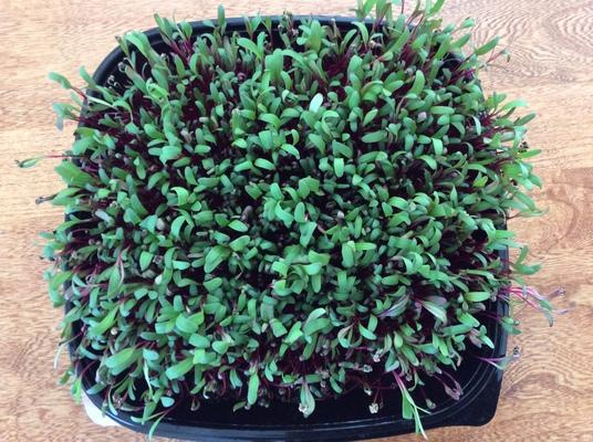 Carousel beet microgreens