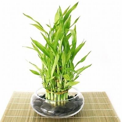 Indoor Gardening Classes Seattle - Lucky Bamboo Arrangements