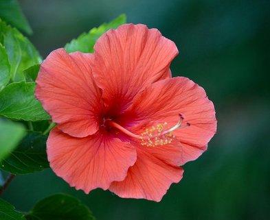 Medium hibiscus