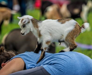 goat yoga san diego