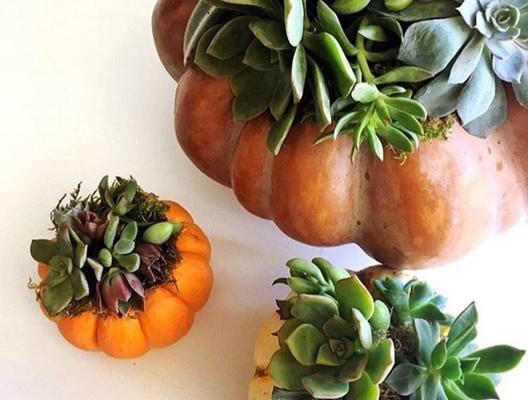 Carousel succulent pumpkins leelee garden