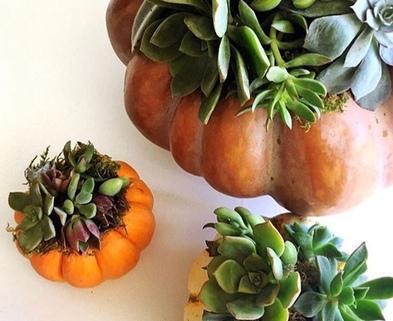 Medium succulent pumpkins leelee garden
