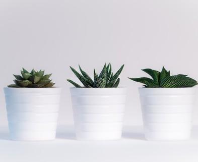 Medium white pots plants cactus