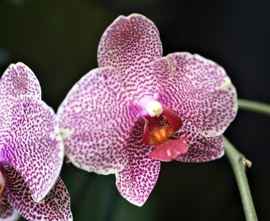 Medium orchids
