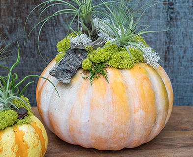 Medium pumpkin air plant