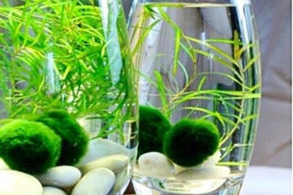 Carousel marimo moss ball gardening class dabble seattle urban sprouts