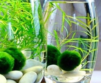 Medium marimo moss ball gardening class dabble seattle urban sprouts