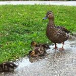 Small_square_puddleducklings2comp