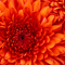 Thumb chrysanthemum